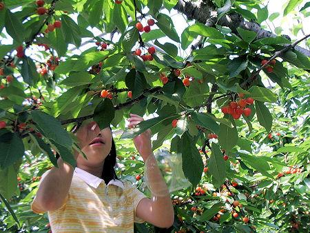 cherry00.jpg