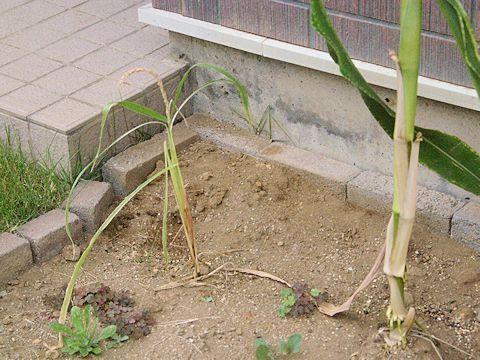 Corn03.jpg